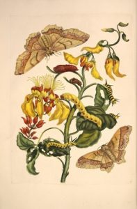 Hand-colored engraving from Merian's book: Metamorphosis Insectorum Surinamensium.